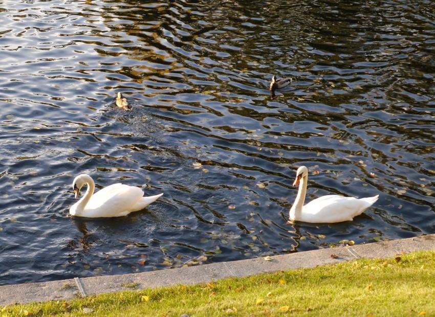 Лебеди в Летнем саду