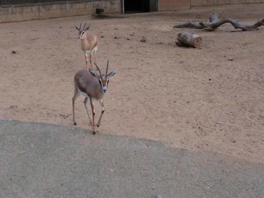 Копытные животные в зоопарке Барселоны