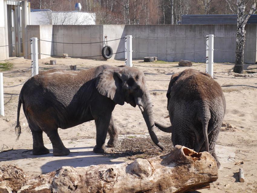 Африканские и Индийские слоны