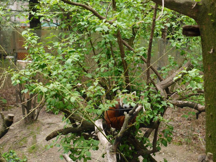 Фаерфокс среди зеленой листвы