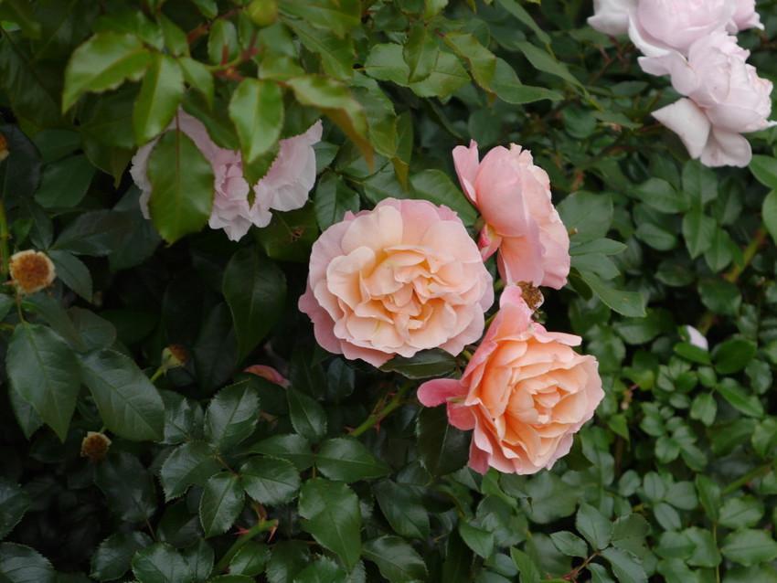 Многочисленные розы парка