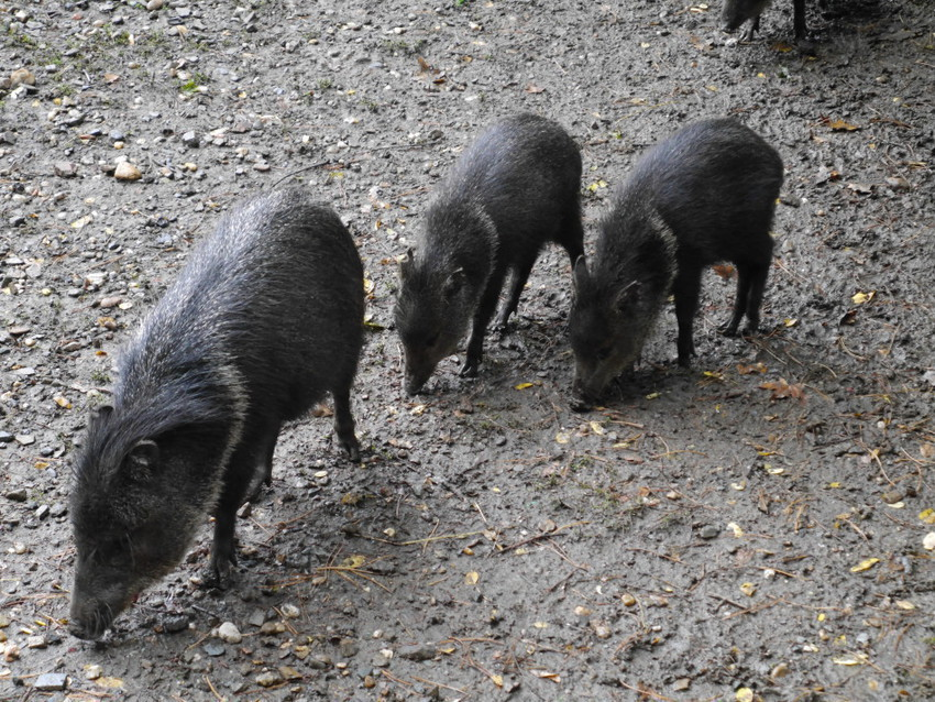 Семейство диких свинок