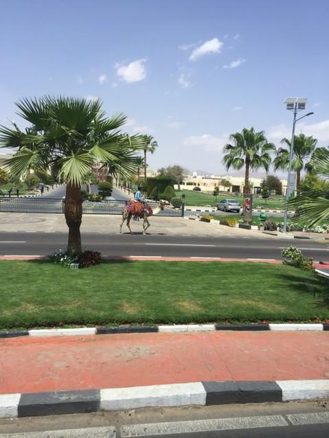 На улицах города можно встретить верблюдов