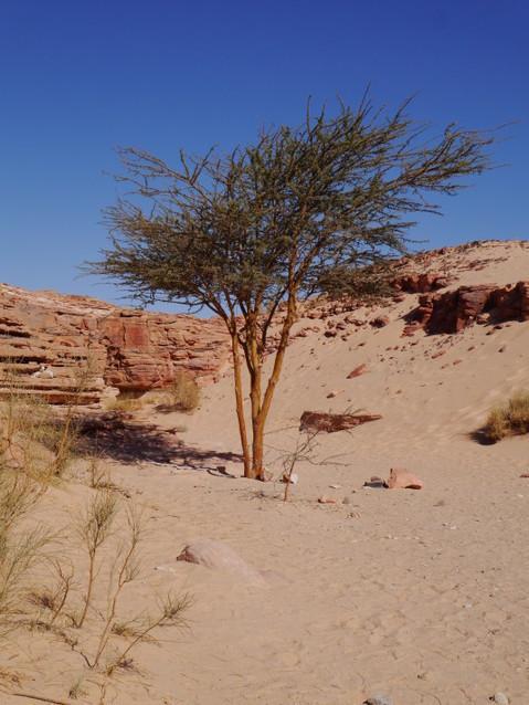 Редкие деревья пустыни