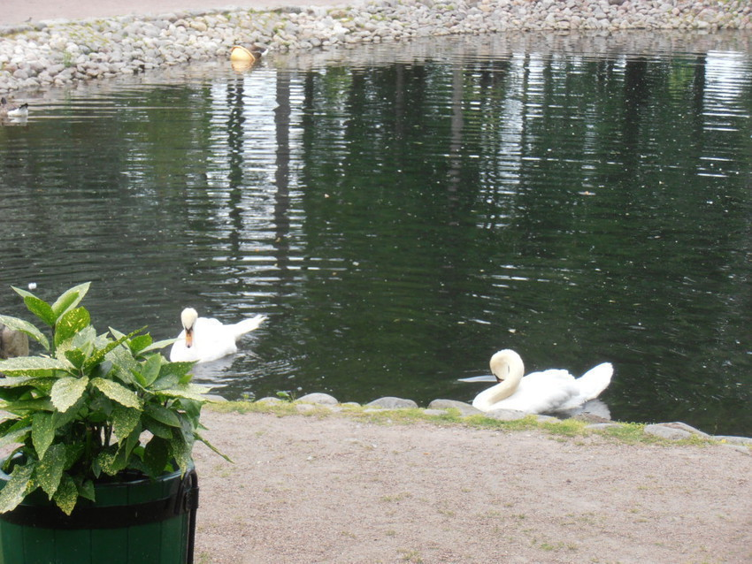 Лебеди в Петергофе