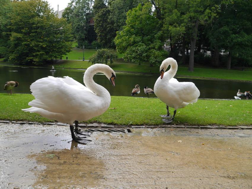 Лебеди в парках Брюсселя