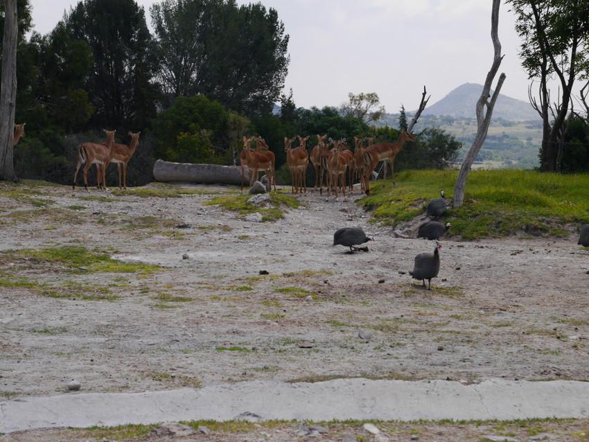 Семья антилоп