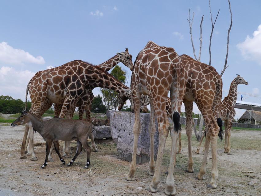 Много жирафов