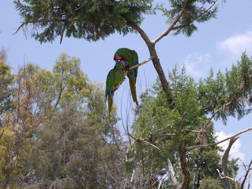 Пара попугаев Гуакамайес.