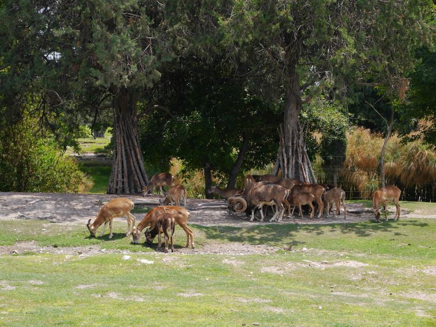 Антилопы, горные козы и другие копытные.