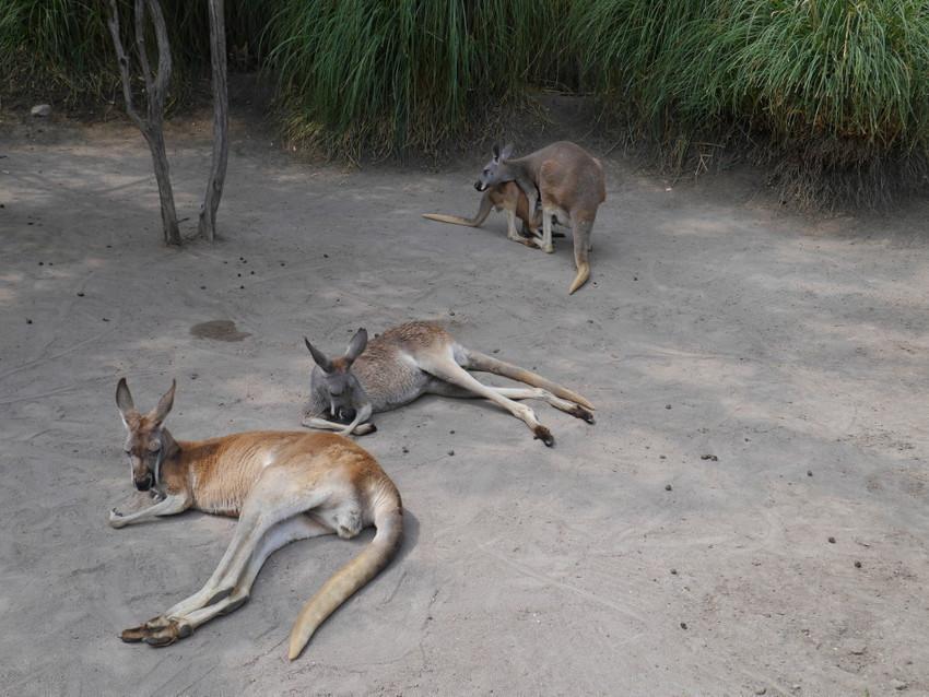Семейство кенгуру