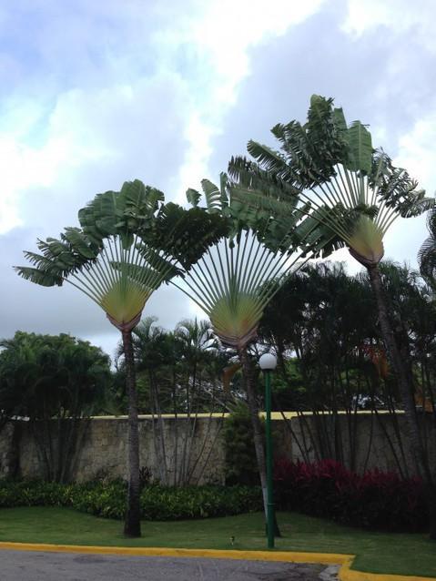 Пальмы в Доминикане