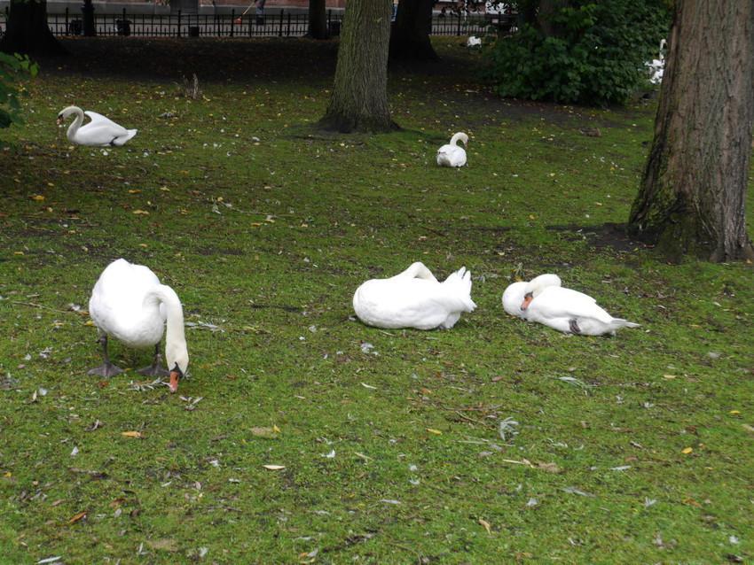 Лебеди около Бегинхофа