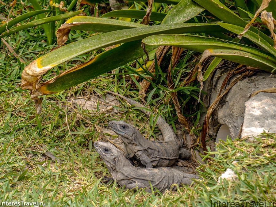 Игуаны в Тулуме