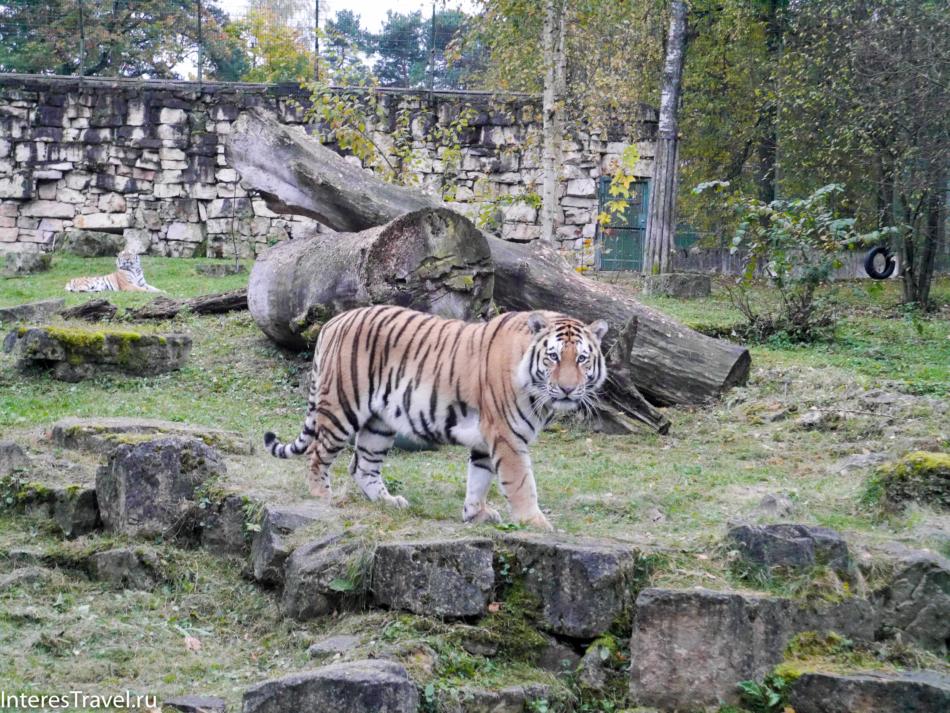 Тигр в Рижском зоопарке