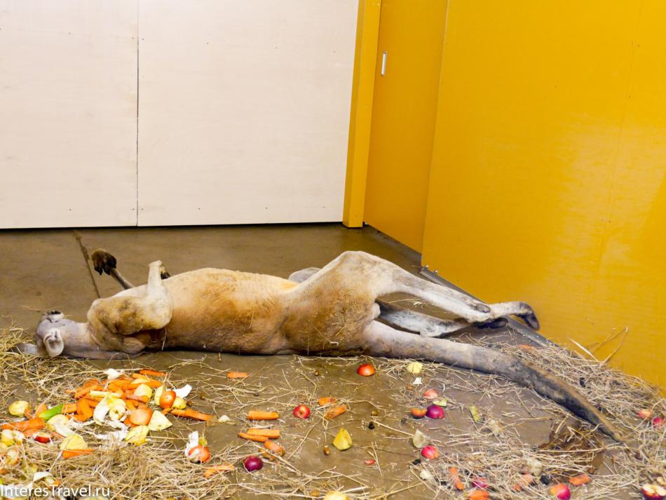 Кенгуру в Рижском зоопарке