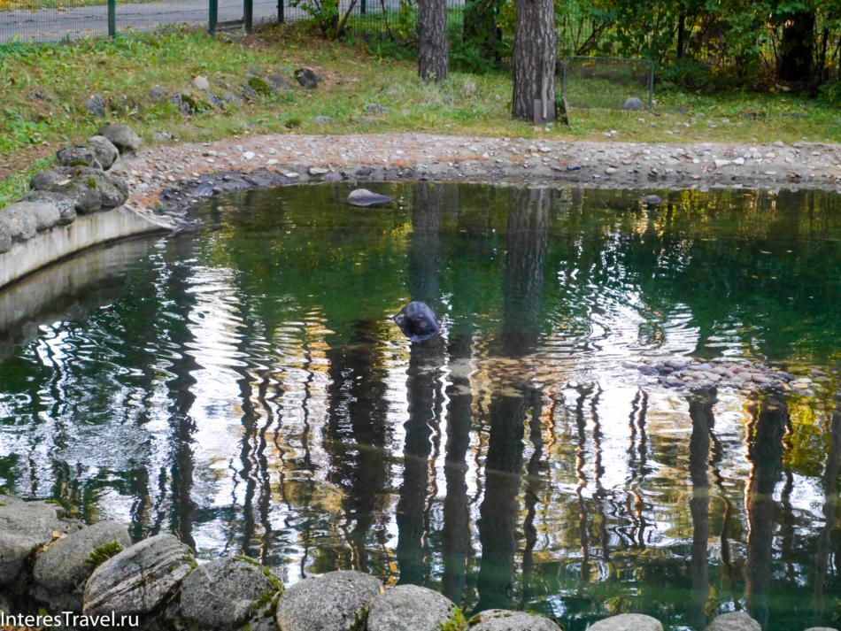 Морской котик в Рижском зоопарке