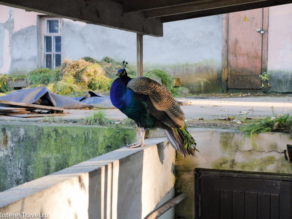 Павлины в Рижском зоопарке