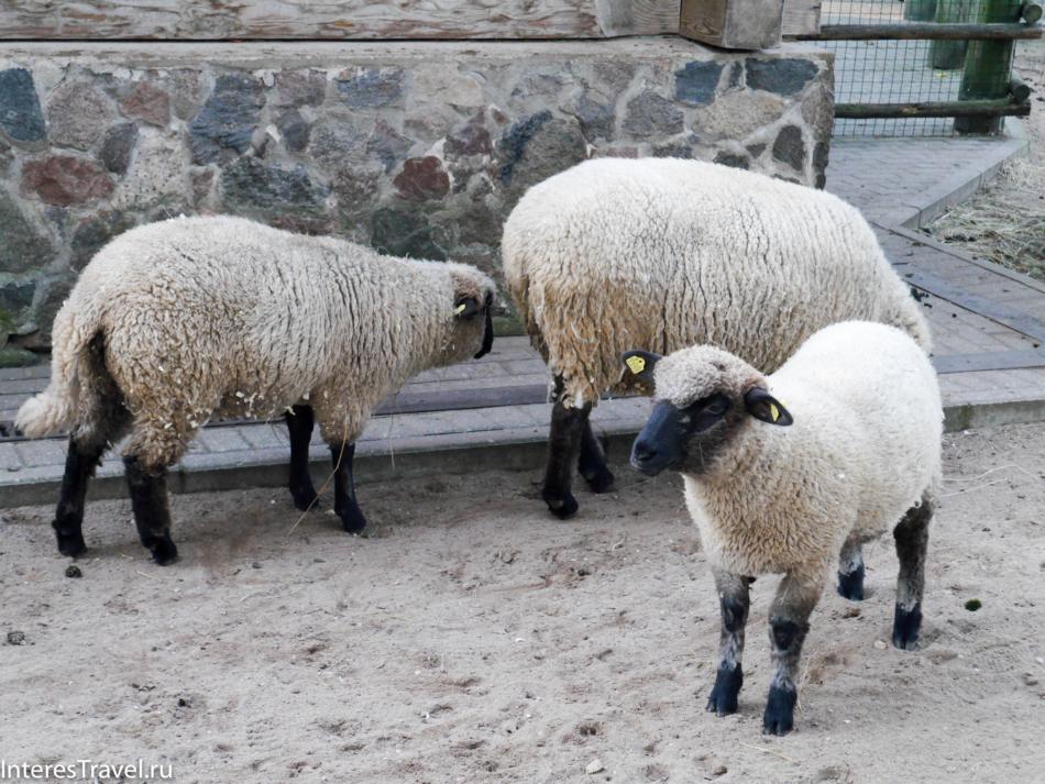 Овечки в Рижском зоопарке