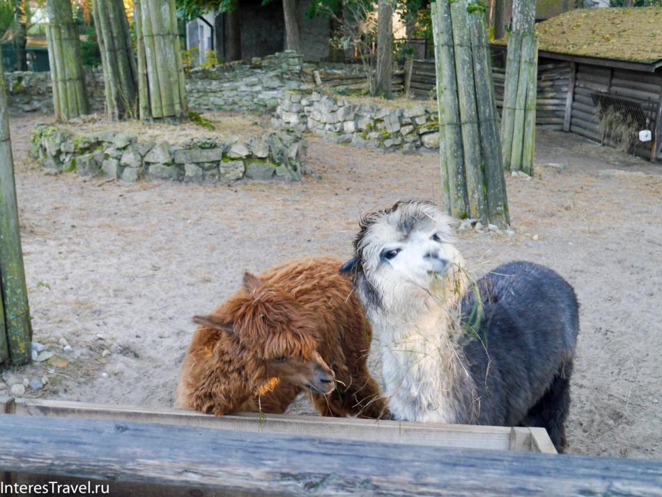 Альпака в Рижском зоопарке