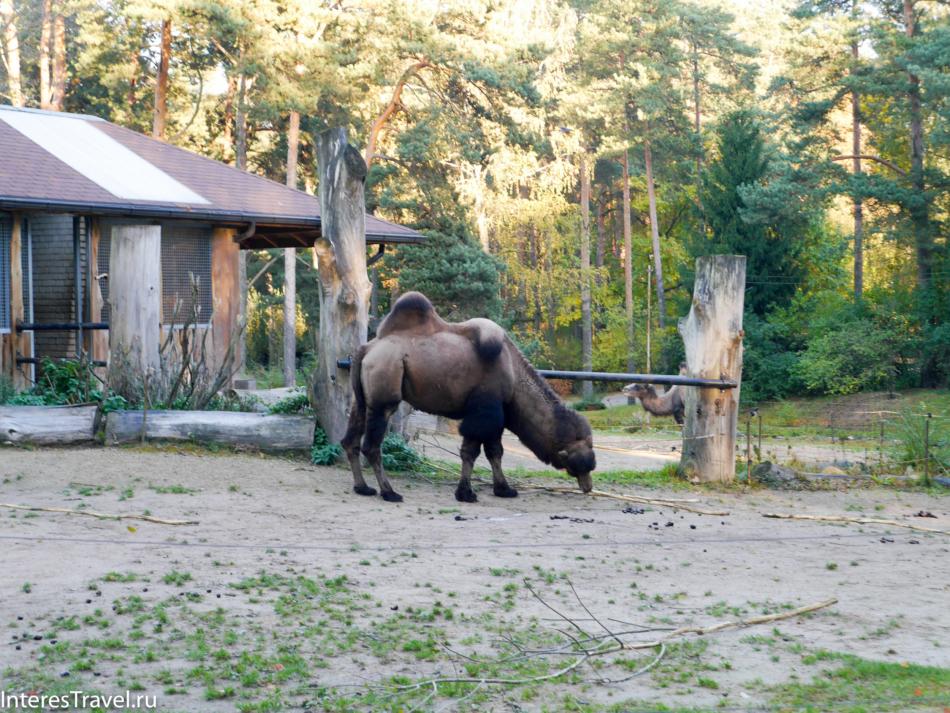 Верблюд в Рижском зоопарке