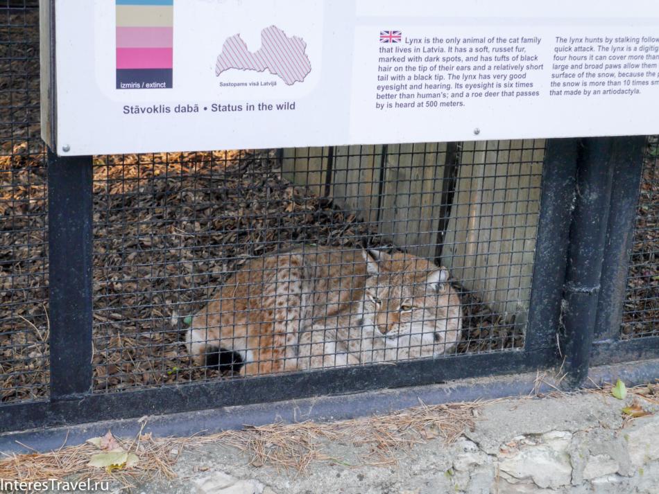 Рысь в Рижском зоопарке