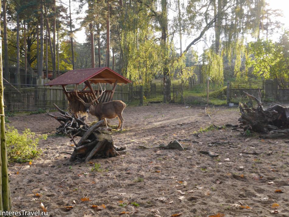 Рогатый олень в Рижском зоопарке