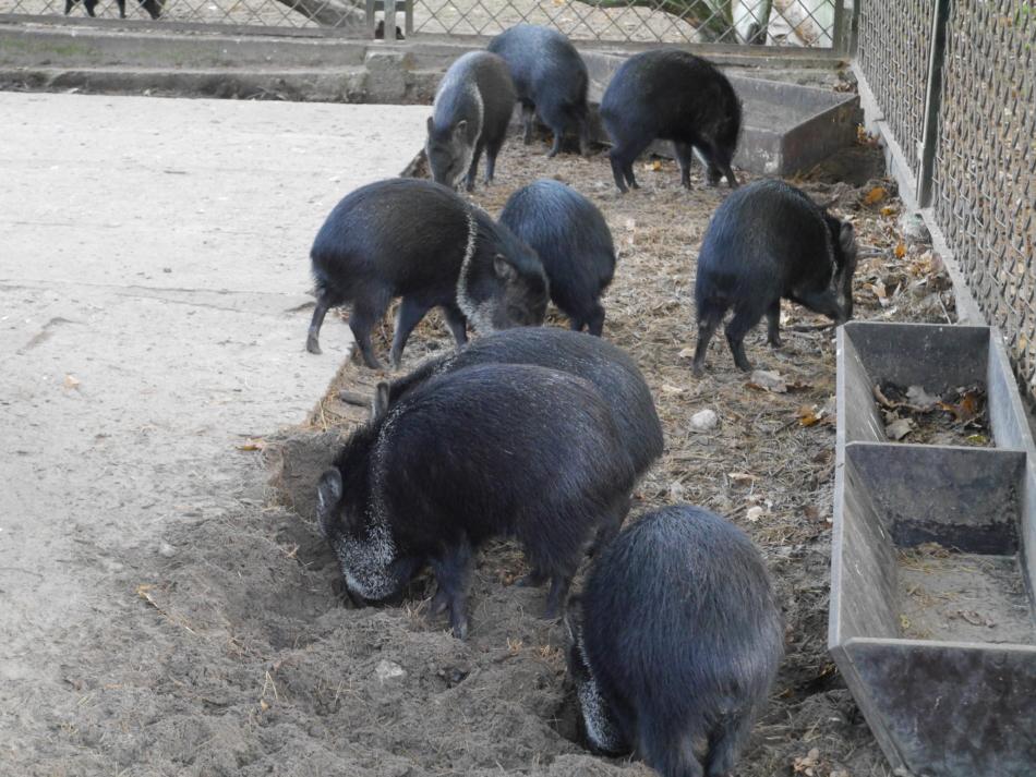 Кабаны в Рижском зоопарке