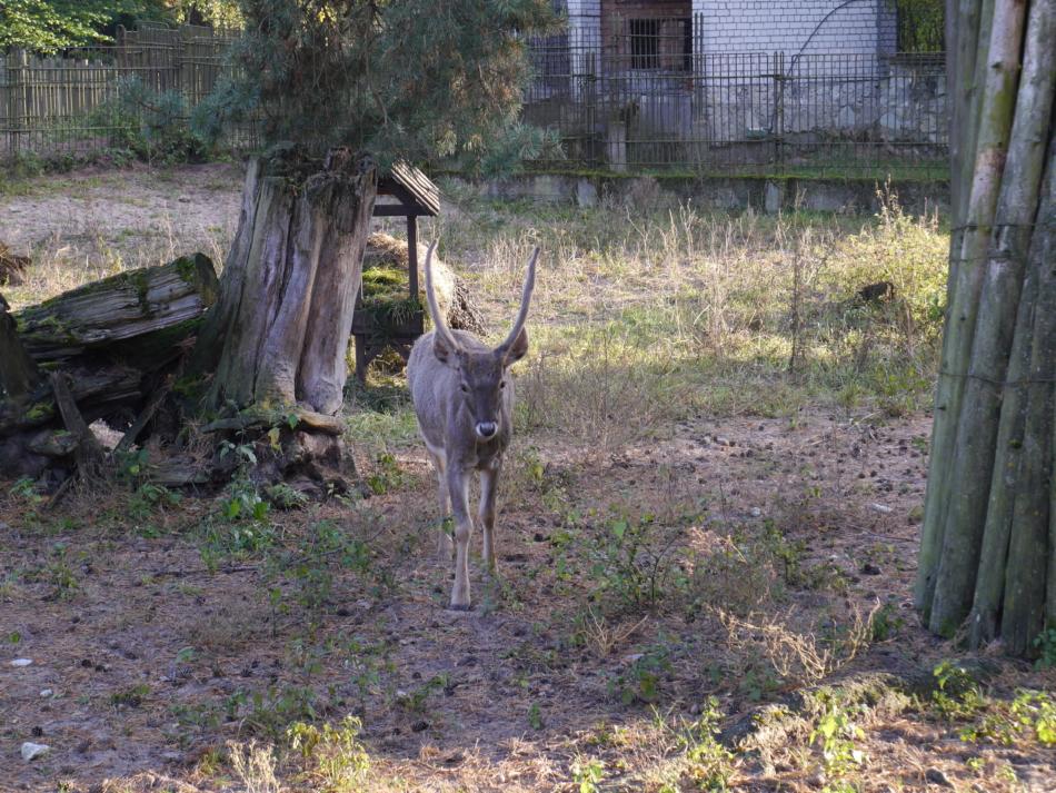 Олени в Рижском зоопарке