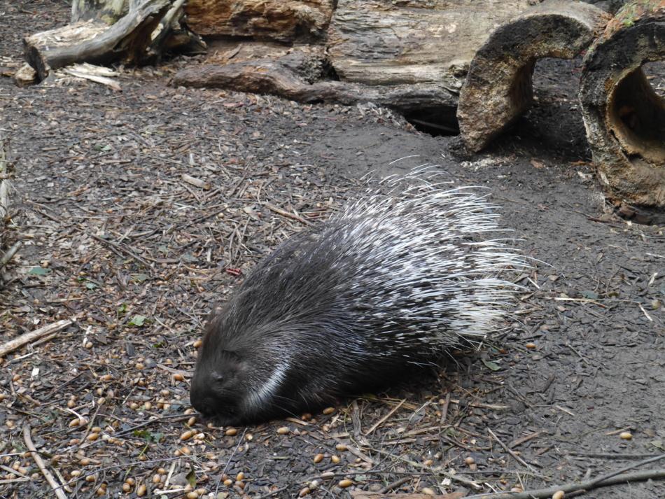 Дикобраз в Рижском зоопарке