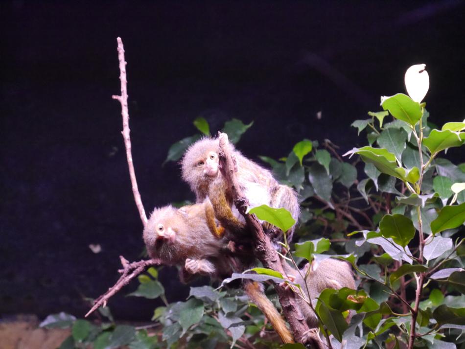 Обезьяны в Рижском зоопарке