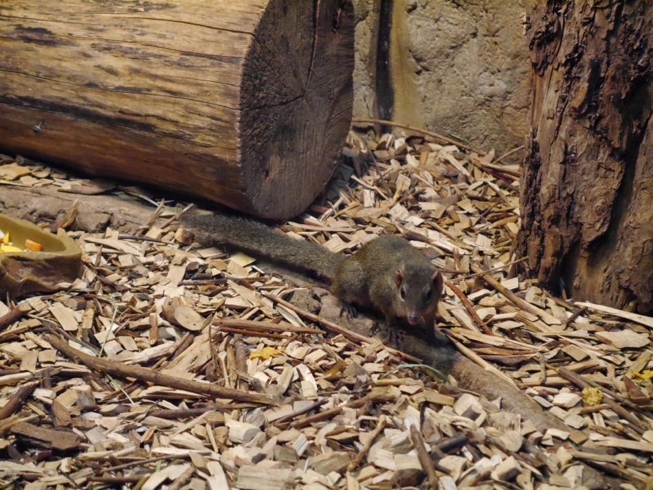 Тупайя в Рижском зоопарке