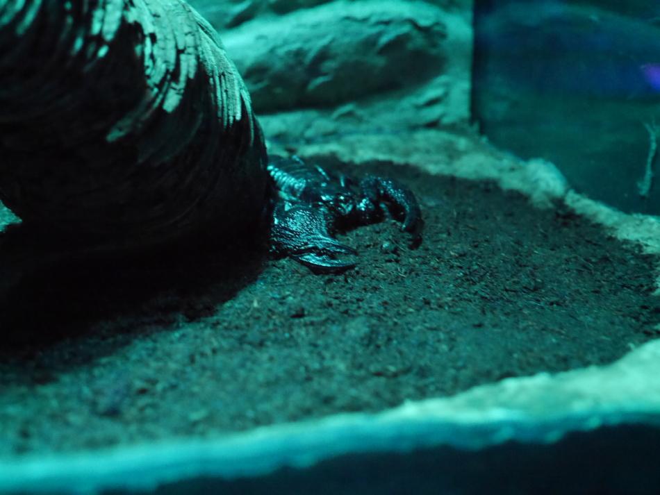Скорпион в Рижском зоопарке